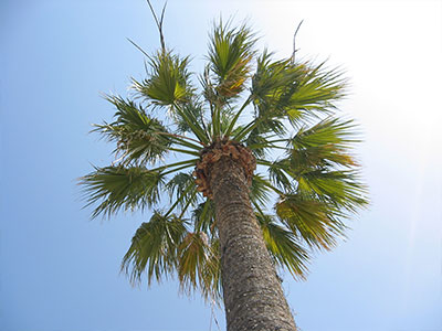 Palm Tree in Los Angeles, California
